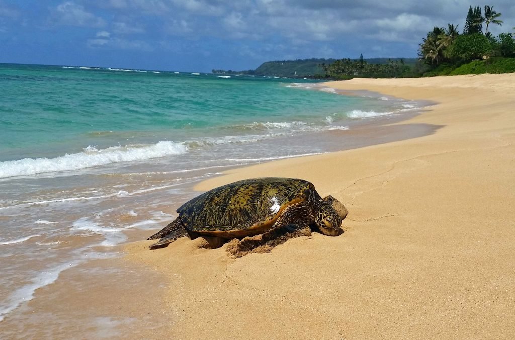 Green.Turtle.Papailoa.jpg