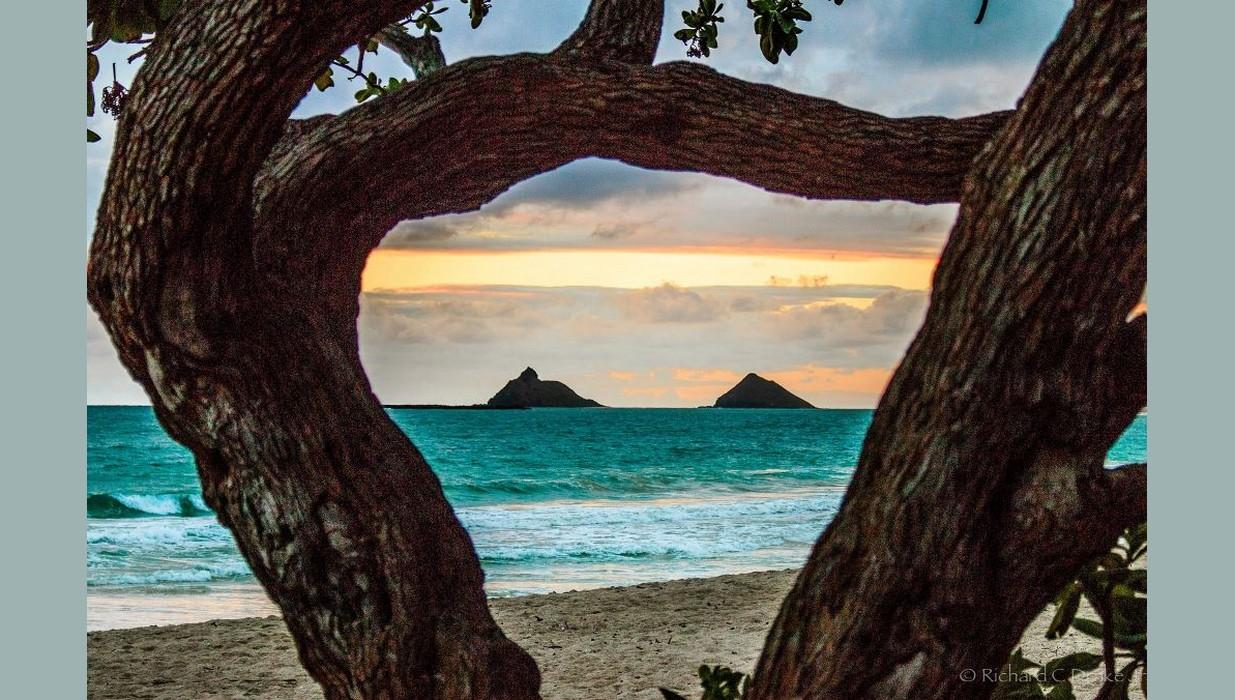 Kailua tree moks.jpg